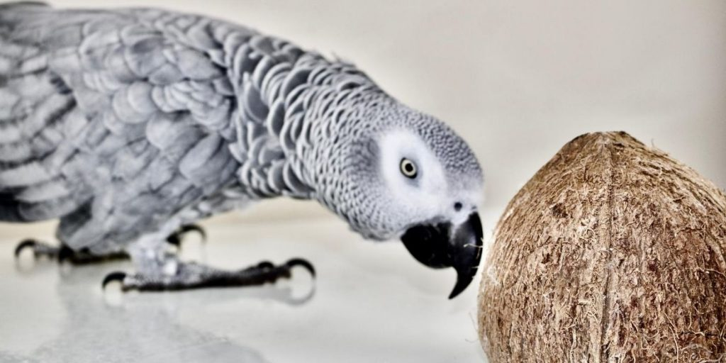 The Smartest African Grey Parrots on the Edge of Extinction